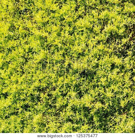 Texture Plant Pine Needles Color And Nature  Background