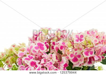 Fresh light pink hortensia flowers isolated on white background