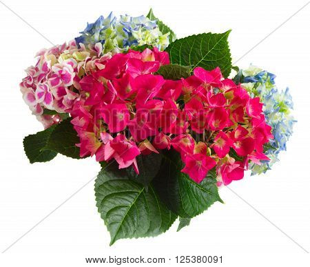bunch of pink and blue hortensia flowers  isolated on white background