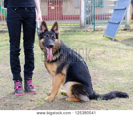 German shepherd sitting obediently next to the owner legs (at the dog playground)