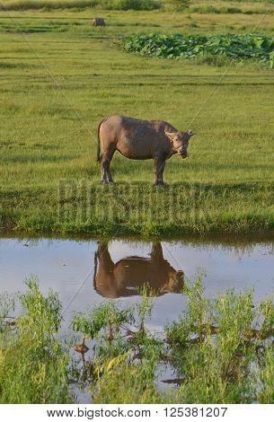 China's rural water buffalo,