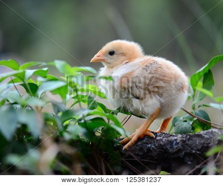 chick in the outdoor