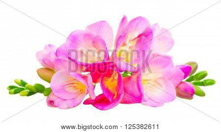 Pile of Fresh pink freesia flowers with buds isolated on white background