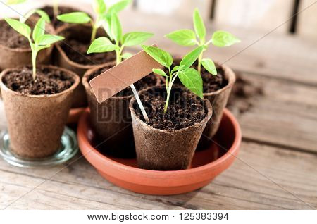 Pepper seedlings in peat pots with cardboard and copy space