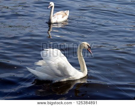 White swan on the water surface at a river