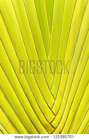 Yellow and green tropical palm tree leaves close up with pattern background of madagascariensis palm leaf frond