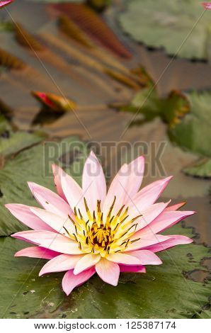 Pink closed lotus Nelumbo nucifera flower over green background