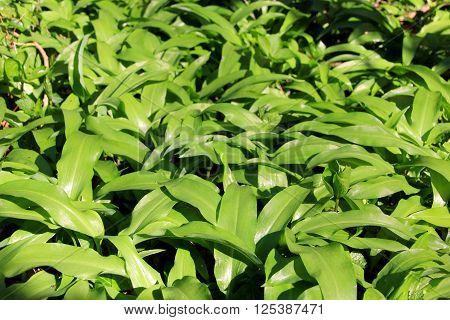 the green leaved bärlauch tastes like garlic