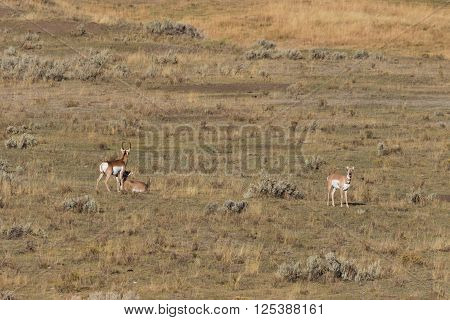 pronghorn buck and does in the fall rut