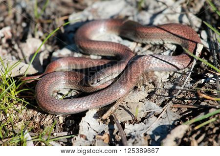 Sharp-tailed Snake (Contia tenuis) in Eastern Washington