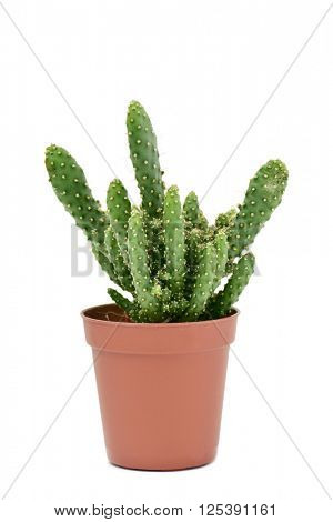 a Opuntia cactus in a brown plant pot, on a white background