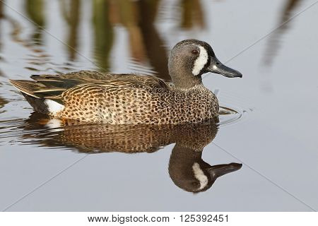 Male Blue-winged Teal - Florida