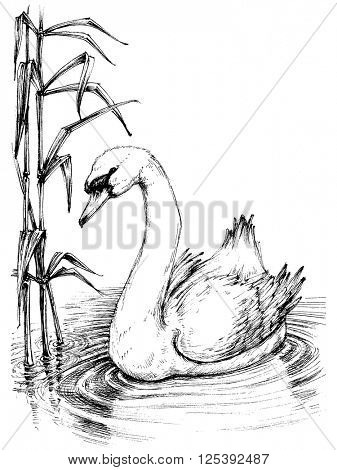 Swan on lake sketch