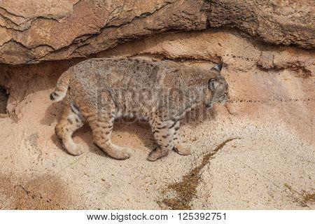 a cute bobcat in the rocks in the desert