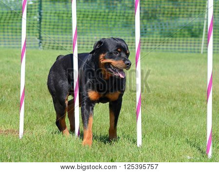 Rottweiler Weaving Through Poles at a Dog Agility Trial