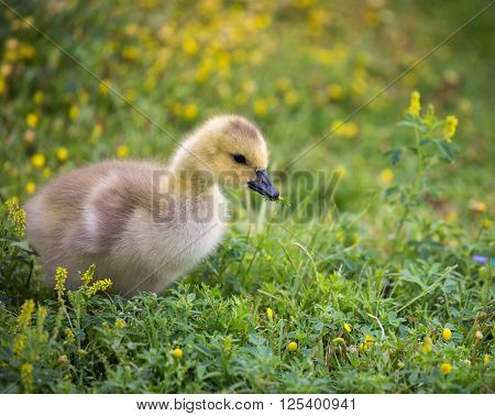 Canada Goose - Branta Canadensis, gosling, eating a plant