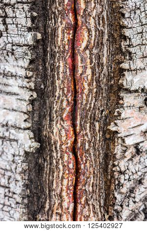 Closeup of damaged birch tree bark details