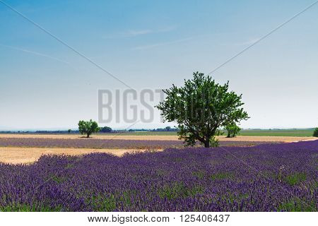 Lavender field and tree with summer blue sky, France