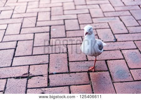 A one-legged seagull stands on a brick ground looking into the camera.  There is space next to the bird in the image for placement of text or another image.