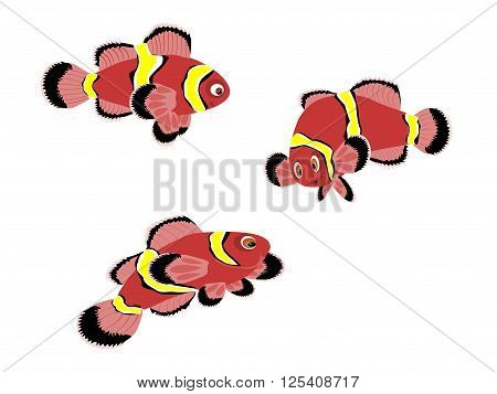 maroon clown fish, three, vector, illustration, png format