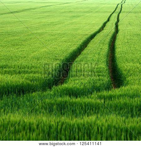Ruts in a field of growing corn in late June.