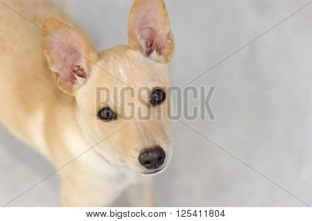 Sad dog is a beautiful puppy dog with big eyes looking up wondering.