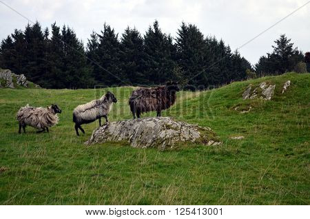 group of Sheeps at a pasture in norway