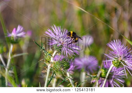 Bumblebee (bombus) Collecting Pollen.