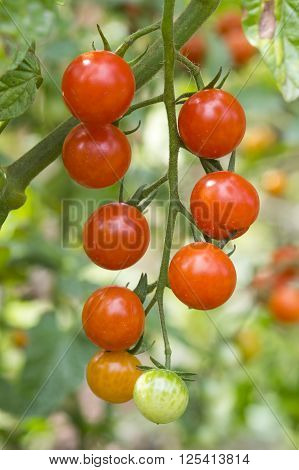 Cherry tomato plant before harvest, close image