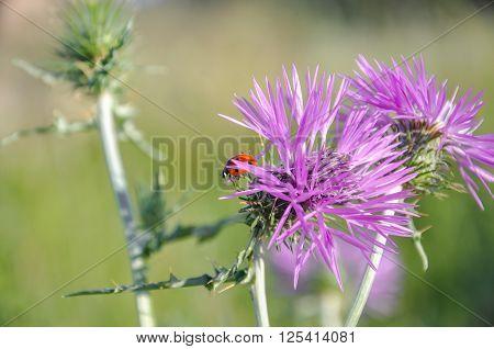 Wild Thistle (carduus) And Ladybug (coccinellidae).