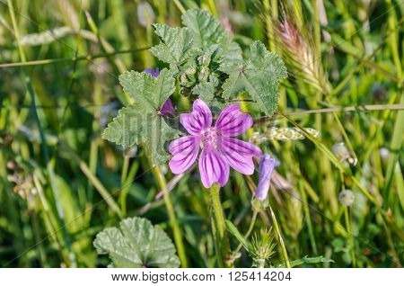 Mauve purple flower of Common Mallow (Malva sylvestris). Also it acquired the common names of Cheeses High Mallow Tall Mallow.