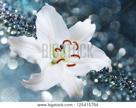 White lily flower on blue background with bokeh effects.