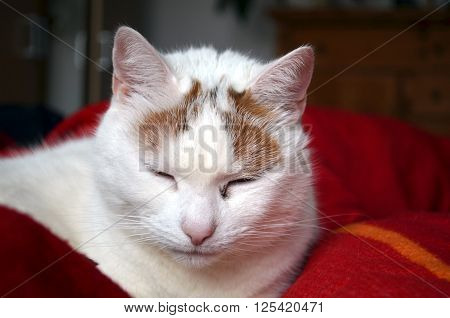 beautiful white cat relaxing on red bedsheets