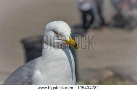 Ring-billed Gull (Larus delawarensis) pauses on a ledge.  close up of very common bird as it looks away from the camera.