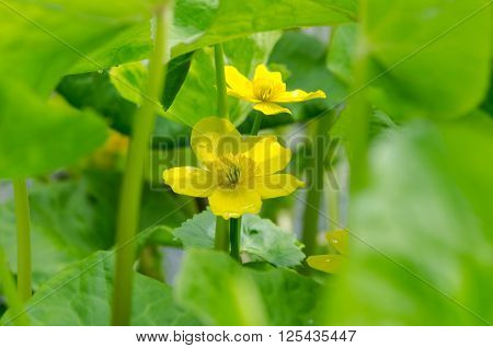 Marsh-marigold (Caltha palustris) flowers and foliage. Flowers of this yellow plant in the buttercup family (Ranunculaceae) also known as kingcup