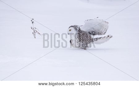 snowy owl chasing its prey in the snow in a field !