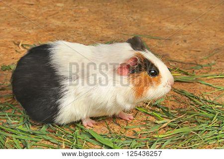 Mature guinea pig (Latin name: cavia porcelus) eating green grass on the horizontal decking