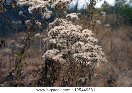 Aster plants, gone to seed in a meadow in the Lake Renwick Heron Rookery Nature Preserve in Plainfield, Illinois, during the autumn.