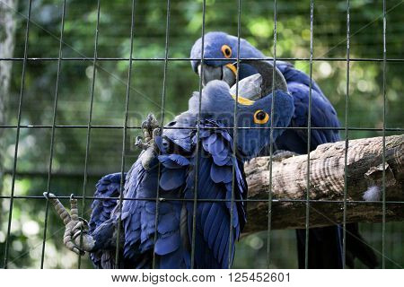 Blue araras parrots together inside cage in Brazilian zoo