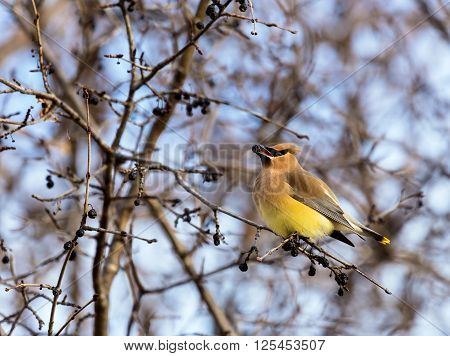 The Cedar waxwing  is a starling-sized perching bird that breeds in the northern forests of Eurasia and North America. It has mainly buff-grey plumage, black face markings and a pointed crest.