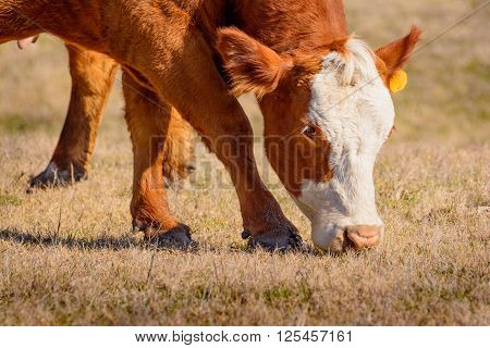 Closeup of Hereford cow grazing on dry grass in a field on a bright winter morning