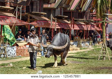 Man Leads Black Buffalo At Funeral Ceremony. Tana Toraja