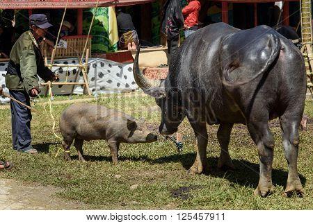 Black Buffalo With Pig At Funeral Ceremony. Tana Toraja