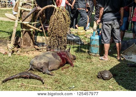 Tana Toraja Indonesia - Dec 10 2015: Pig slaughtered in the funeral ceremony. In Toraja the funeral ritual is the most elaborate and expensive even. Tana Toraja. South Sulawesi Indonesia