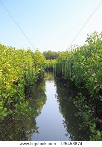 mangrove tree forest in the river and blue sky