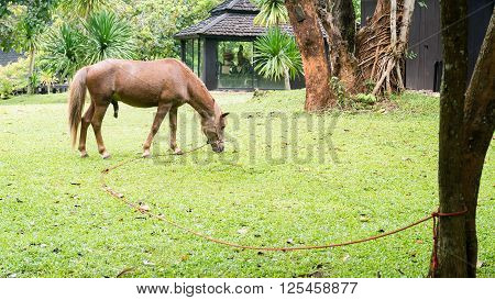 halter brown horse grazing on the grass in public park in raining day. shallow depth of field.