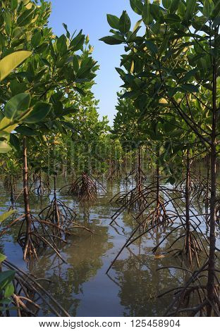 root of mangrove tree forest in the river