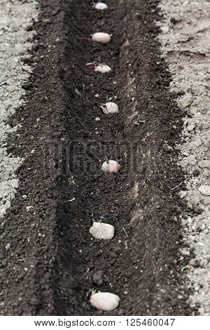 Row Of Seed Potatoes In Furrow