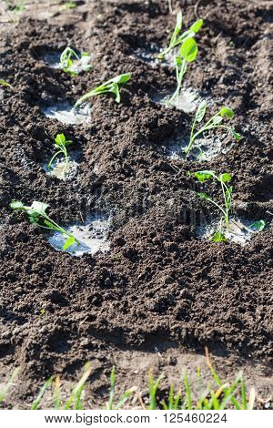 Watered Seedbeds With Cabbage Sprouts