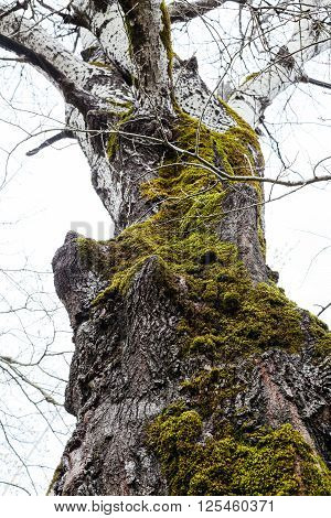 bare trunk of old poplar tree covered by green moss in spring
